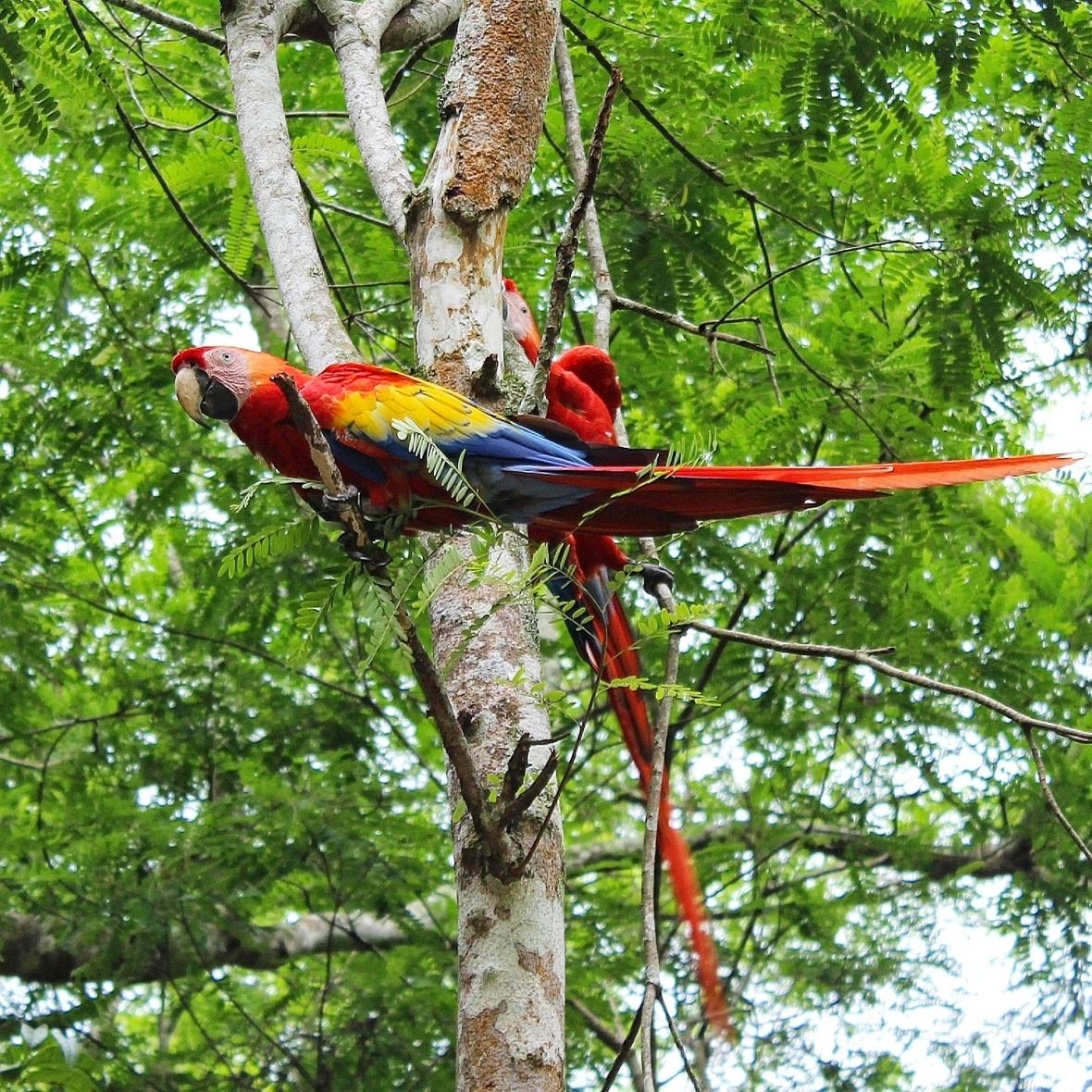 Scarlet Macaws copan ruinas