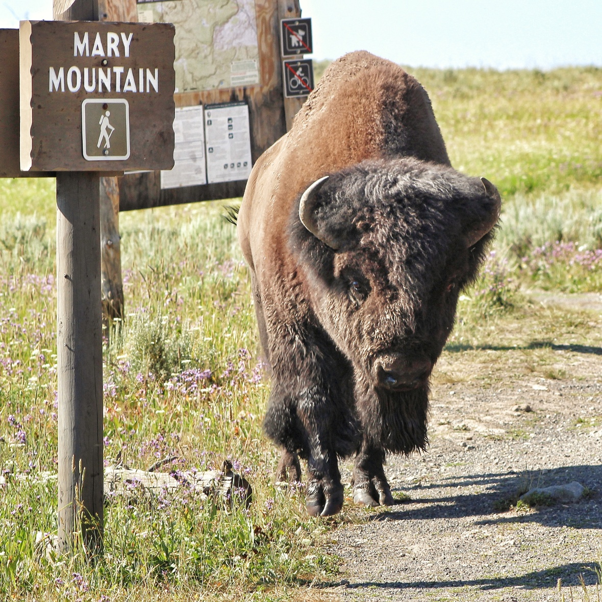 Bison strolling down the path