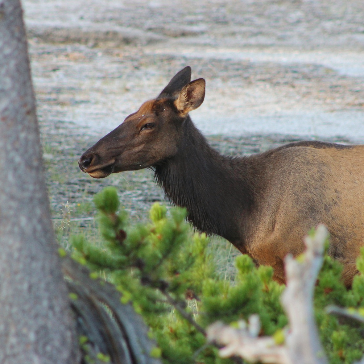 Closeup of an elk in Yellowstone National Park