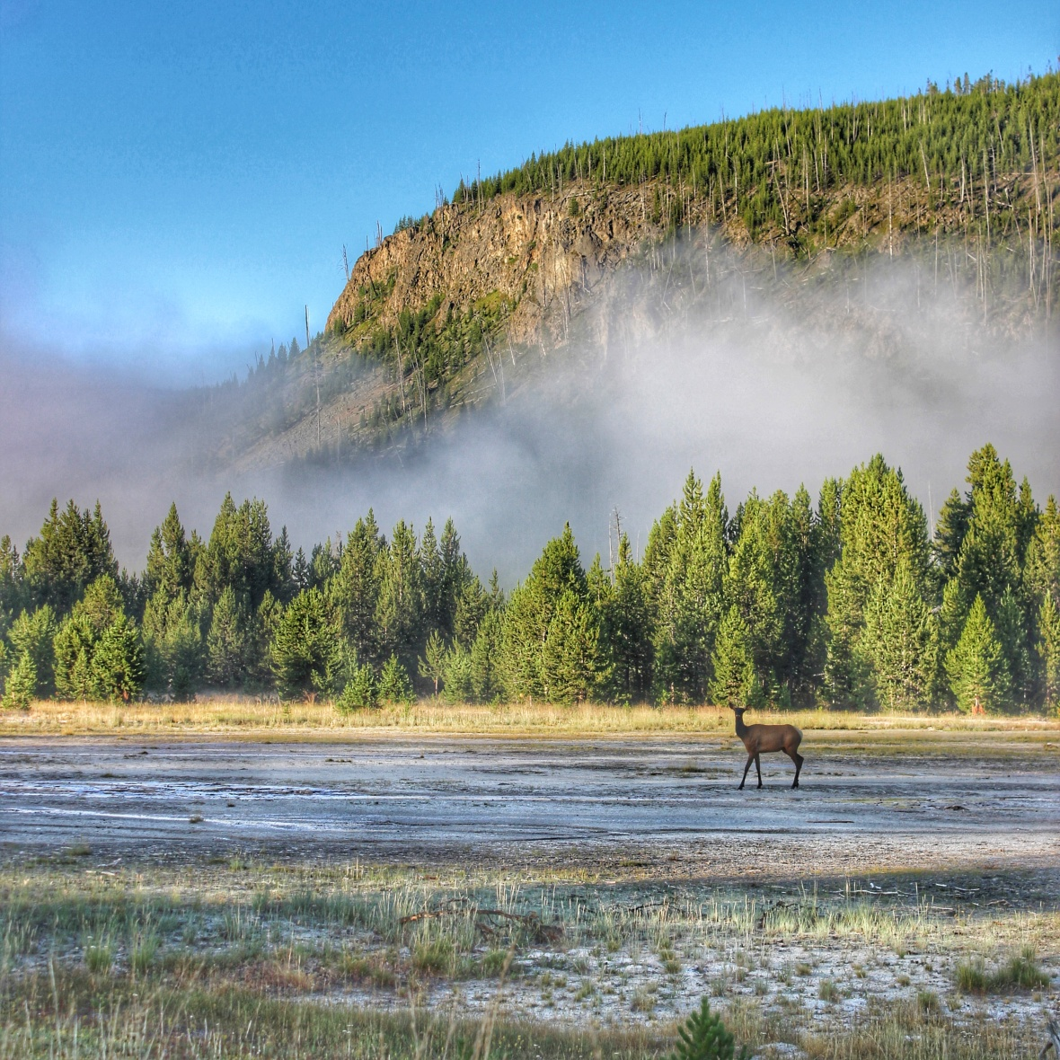 Elk at Yellowstone Park
