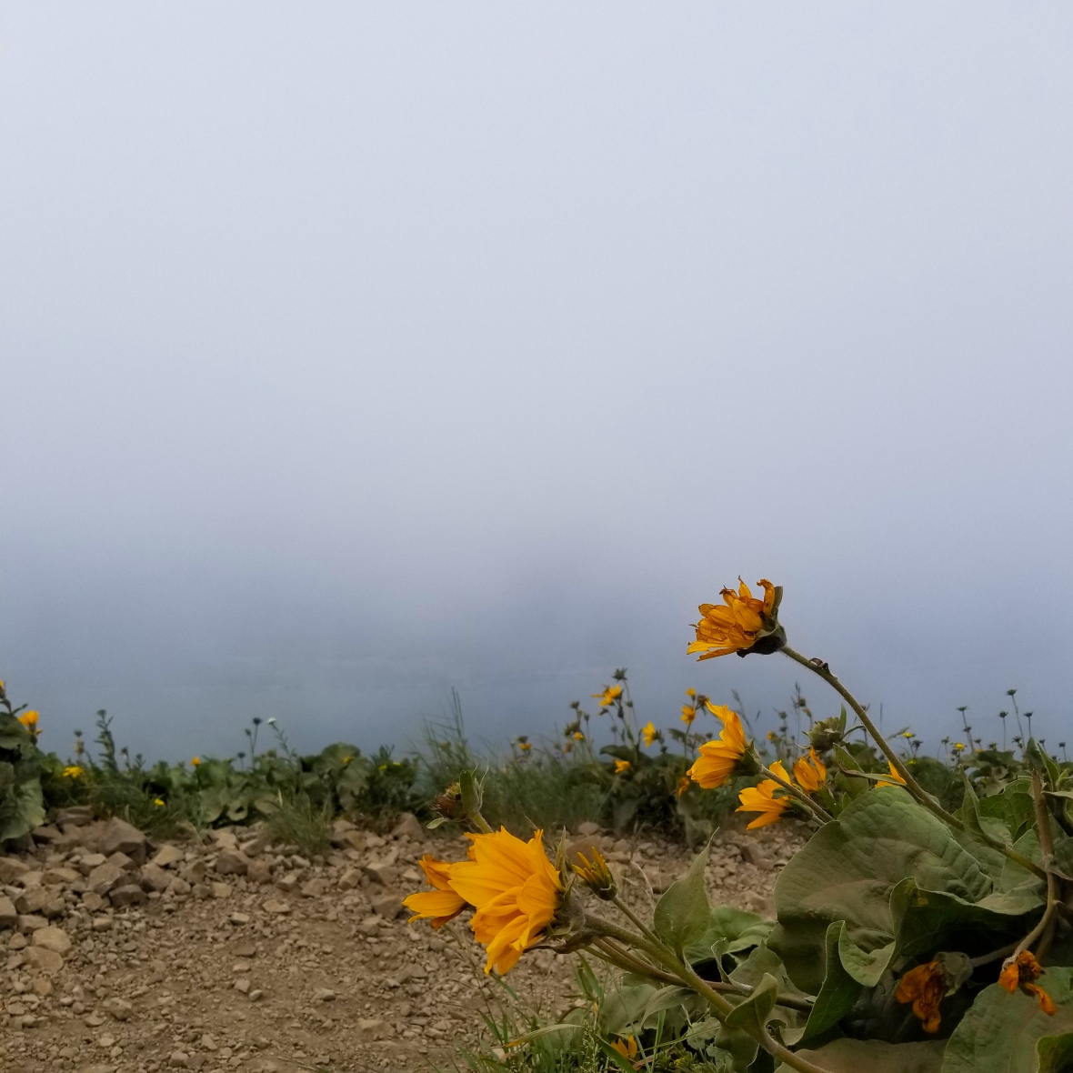 Dog Mountain Fog and Wild flowers