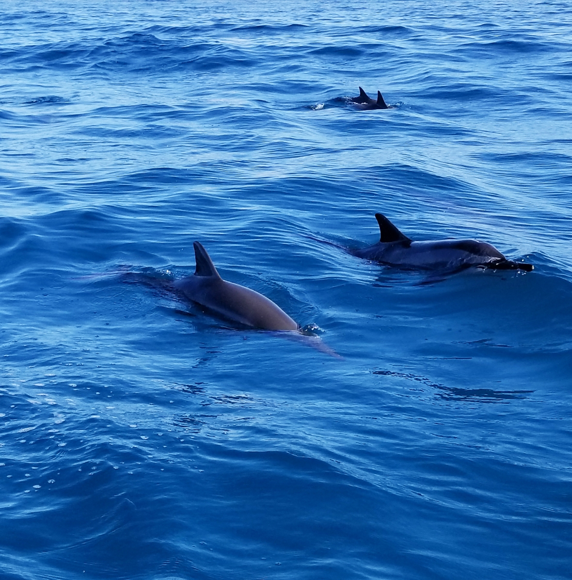 Dolphins off the Na Pali Coast