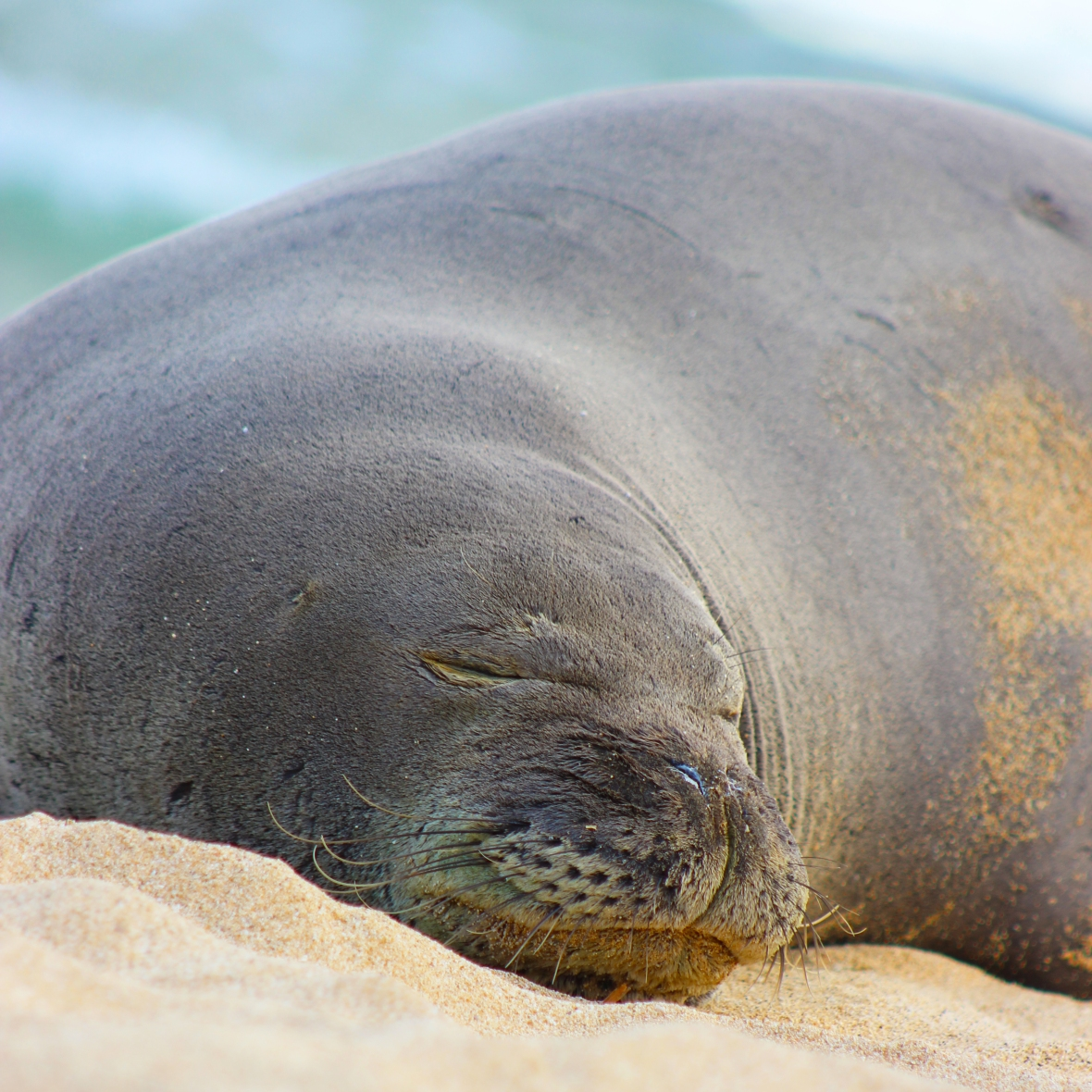 Close up of the Monk Seal